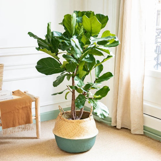 Idée cadeau bien-être pour une maman : une plante verte facile d'entretien Bergamotte